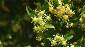 Chilean tree holds hope of new Covid-19 vaccines
