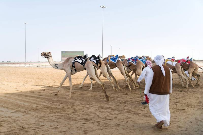 DUBAI, UNITED ARAB EMIRATES - Feb 15, 2018.The fastest camels in the Gulf will compete for cash, swords, rifles and luxury vehicles totalling Dh95 million at the first annual Sheikh Hamdan Bin Mohammed Bin Rashid Al Maktoum Camel Race Festival in Dubai.(Photo: Reem Mohammed/ The National)Reporter:Section: NA
