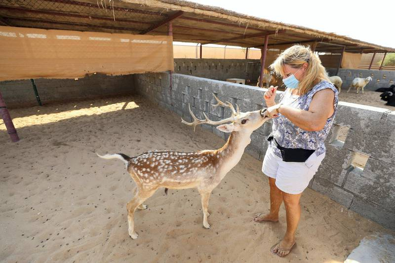 Dubai, United Arab Emirates - Reporter: N/A. News. Covid-19/Coronavirus. Viviane from The Camel farm tourist attraction feeds a deer with Covid-19 precautions in place. Saturday, October 10th, 2020. Dubai. Chris Whiteoak / The National