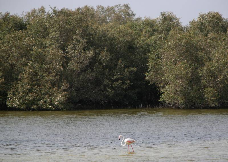 June 15, 2008 / Abu Dhabi /  A flamingo stands in the shallow water with Mangroves trees in the background June 15, 2008 in Abu Dhabi. (Sammy Dallal / The National) *** Local Caption ***  sd-Mangroves2.jpgsd-Mangroves2.jpg
