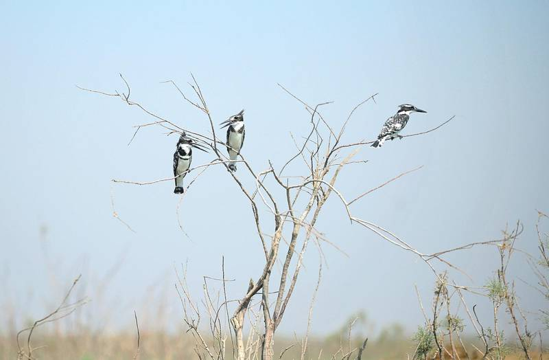 Pied Kingfisher birds rest on branches from trees extending from the marshes in Chibayish, Iraq, Saturday, May, 1, 2021. Deep within Iraq's celebrated marsh lands, conservationists are sounding alarm bells and issuing a stark warning: Without quick action, the UNESCO protected site could all but wither away. (AP Photo/Anmar Khalil)