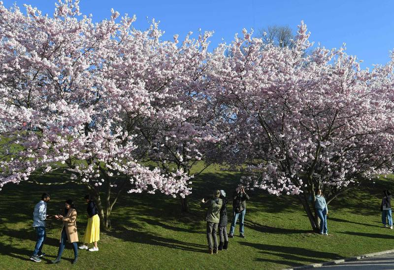 People stand under cherry blossom trees in the Olympic Park in Munich, southern Germany, on April 4, 2021, amid the novel coronavirus Covid-19 pandemic.  / AFP / Christof STACHE