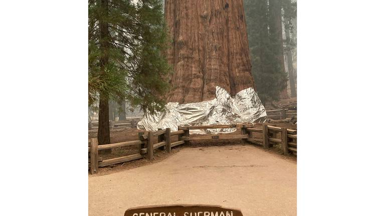 An image that illustrates this article California wildfires threaten world's biggest tree