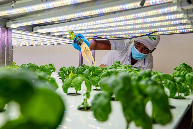 A migrant worker tends to plants growing under LED lighting inside an indoor hydroponic farm operated by Green Container Advanced Farming LLC (GCAF) in a Carrefour SA grocery store in Dubai, United Arab Emirates, on Monday, Nov. 9, 2020. While vertical farming frees up arable land and uses 95% less water, creating the ideal conditions for growing plants ends up consuming much more energy than traditional methods. Photographer: Christopher Pike/Bloomberg