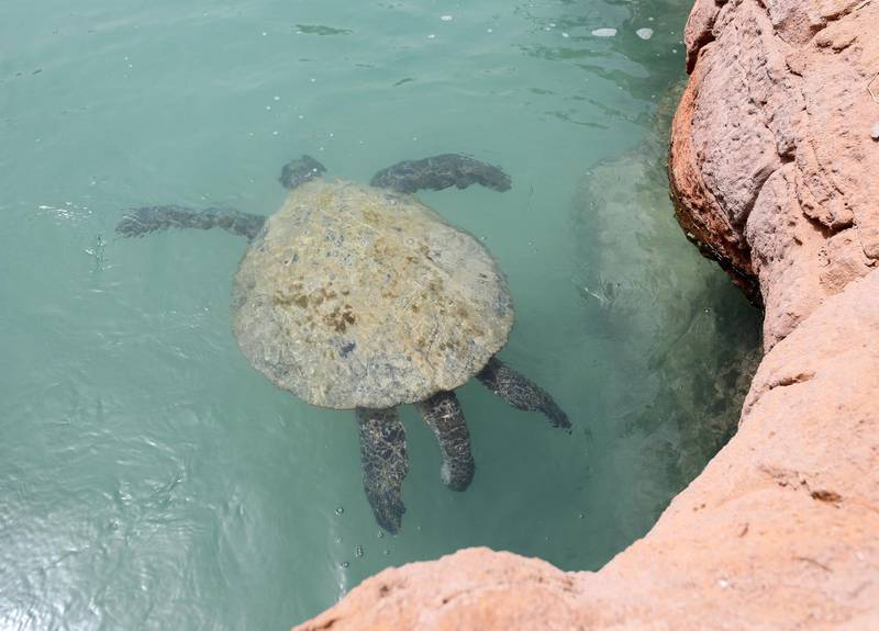 Dubai, United Arab Emirates - Reporter: Georgia Tolley. News. Nature. The turtles are fed. Sheikh Fahim Al Qassimi rescued a turtle and took it to the Burj Al Arab Turtle Rehabilitation Sanctuary for surgery. Sadly one flipper had to be amputated after it got tangled up in fishing wire. They're still hoping it might be able to be released back into the wild, if it can still dive. Sunday, March 14th, 2021. Dubai. Chris Whiteoak / The National