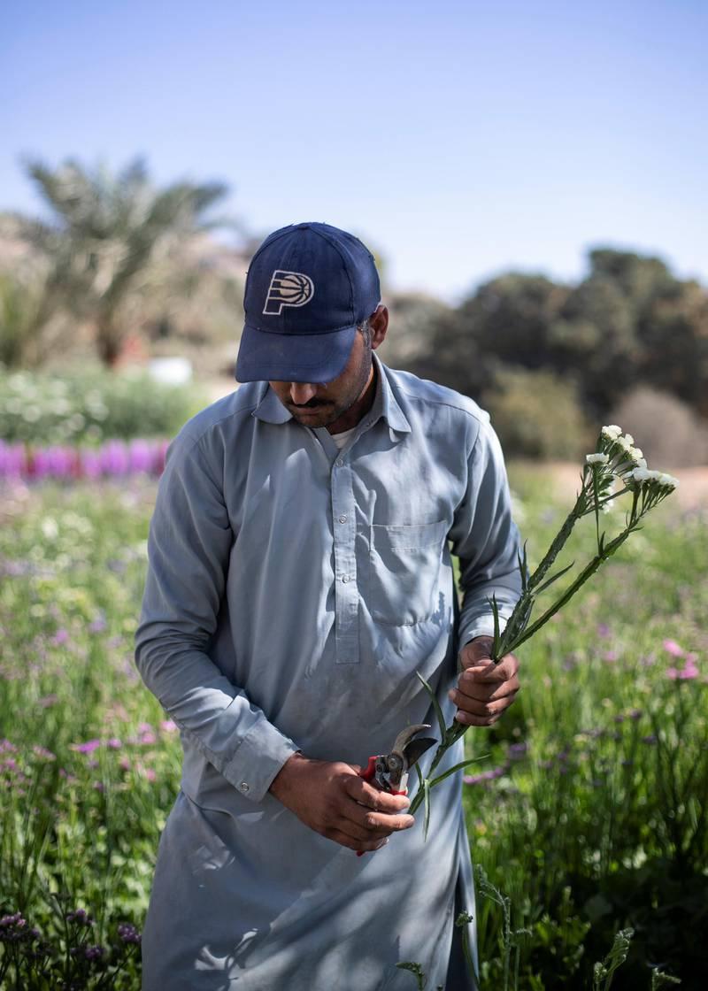FUJAIRAH, UNITED ARAB EMIRATES.  16 FEBRUARY 2021. Abdulrahman picks statice flowers at Mohammed Al Mazroui's UAE Flower Farm in Asimah.Photo: Reem Mohammed / The NationalReporter: Alexandra Chavez